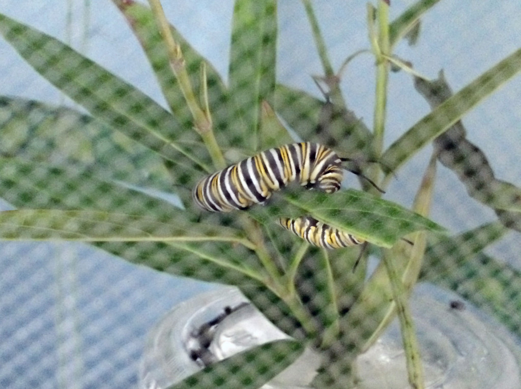Mature caterpillars munching their way through some milkweed clippings
