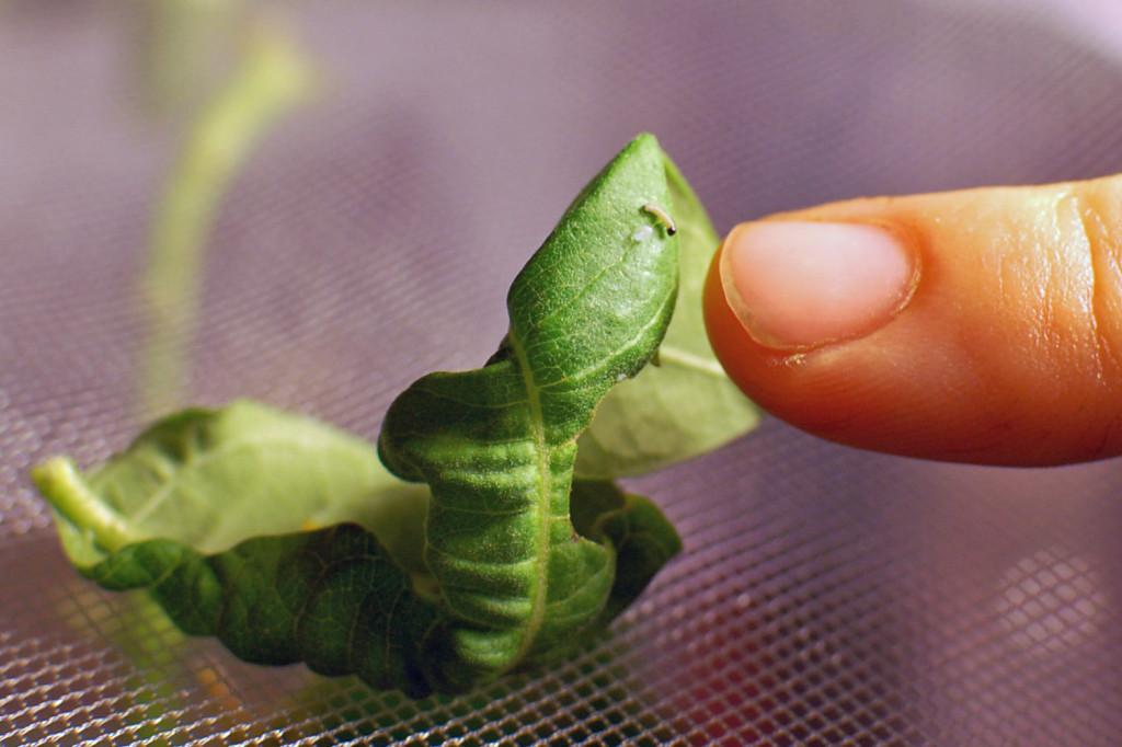 Hatchling caterpillar (first instar)