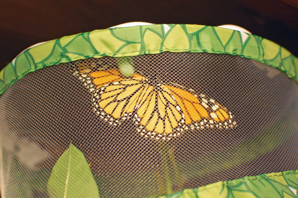 Monarch with dry wings, ready for flight